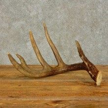 Whitetail Deer Antler Shed For Sale #16433 @ The Taxidermy Store