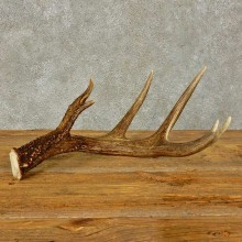 Whitetail Deer Antler Shed For Sale #16434 @ The Taxidermy Store