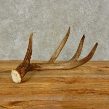 Whitetail Deer Antler Shed For Sale #16436 @ The Taxidermy Store