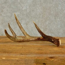 Whitetail Deer Antler Shed For Sale #16437 @ The Taxidermy Store