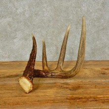 Whitetail Deer Antler Shed For Sale #16438 @ The Taxidermy Store