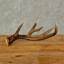 Whitetail Deer Antler Shed For Sale #16440 @ The Taxidermy Store