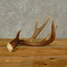 Whitetail Deer Antler Shed For Sale #16441 @ The Taxidermy Store