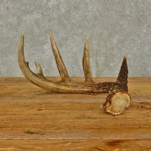 Whitetail Deer Antler Shed For Sale #16442 @ The Taxidermy Store