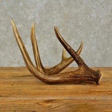 Whitetail Deer Antler Shed For Sale #16444 @ The Taxidermy Store