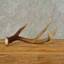 Whitetail Deer Antler Shed For Sale #16446 @ The Taxidermy Store