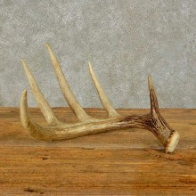 Whitetail Deer Antler Shed For Sale #16447 @ The Taxidermy Store