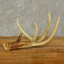 Whitetail Deer Antler Shed For Sale #16449 @ The Taxidermy Store