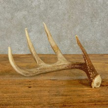 Whitetail Deer Antler Shed For Sale #16450 @ The Taxidermy Store
