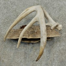Whitetail Deer Antler Rustic Mount For Sale #16743 @ The Taxidermy Store