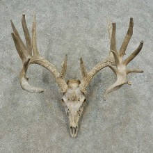 Whitetail Deer Skull European Mount For Sale #16745 @ The Taxidermy Store