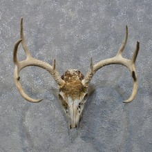 Whitetail Deer Skull & Antlers #12160 For Sale @ The Taxidermy Store