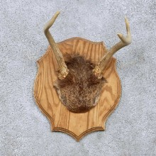 Whitetail Deer Antler Plaque Taxidermy Mount For Sale #13951 For Sale @ The Taxidermy Store