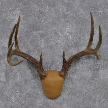 Whitetail Deer Taxidermy Leather Antler Mount #12431 For Sale @ The Taxidermy Store