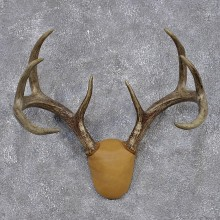Whitetail Deer Taxidermy Leather Antler Mount #12433 For Sale @ The Taxidermy Store