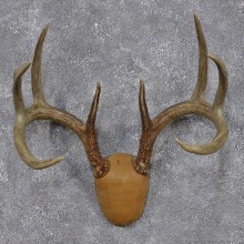 Whitetail Deer Taxidermy Leather Antler Mount #12434 For Sale @ The Taxidermy Store