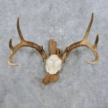 Whitetail Deer Antler Mount For Sale #14300 @ The Taxidermy Store