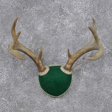 Whitetail Deer Taxidermy Leather Antler Mount #12437 For Sale @ The Taxidermy Store