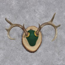 Whitetail Deer Taxidermy Antler Plaque Mount #12444 For Sale @ The Taxidermy Store