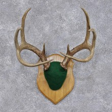 Whitetail Deer Taxidermy Antler Plaque Mount #12447 For Sale @ The Taxidermy Store