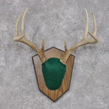 Whitetail Deer Taxidermy Antler Plaque Mount #12448 For Sale @ The Taxidermy Store