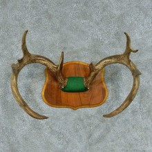 Whitetail Deer Antler Mount #13455 For Sale @ The Taxidermy Store