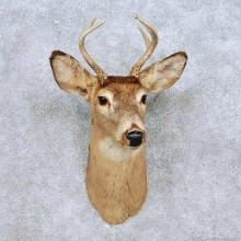 Whitetail Deer Shoulder Mount For Sale #14088 @ The Taxidermy Store