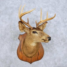 Whitetail Deer Head Taxidermy Mount For Sale #14116 @ The Taxidermy Store