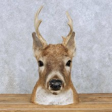 Whitetail Deer Head Mount For Sale #13960 @ The Taxidermy Store
