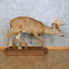 Whitetail Deer Life Size Mount For Sale #14060 @ The Taxidermy Store
