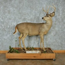 Whitetail Deer Life-Size Mount #13474 For Sale @ The Taxidermy Store