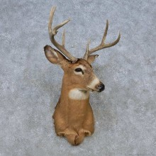 Whitetail Deer Shoulder Mount For Sale #14789 @ The Taxidermy Store