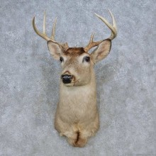 Whitetail Deer Shoulder Mount For Sale #14798 @ The Taxidermy Store