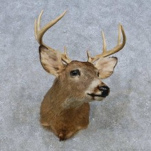 Whitetail Deer Shoulder Mount For Sale #14799 @ The Taxidermy Store