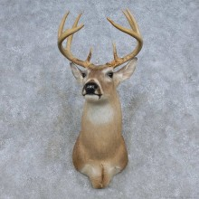 Whitetail Deer Shoulder Mount For Sale #14841 @ The Taxidermy Store