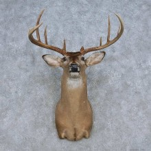Whitetail Deer Shoulder Mount For Sale #14851 @ The Taxidermy Store