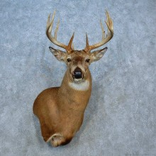 Whitetail Deer Shoulder Mount For Sale #15538 @ The Taxidermy Store