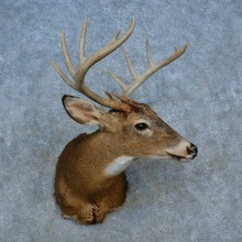 Whitetail Deer Shoulder Mount For Sale #15550 @ The Taxidermy Store