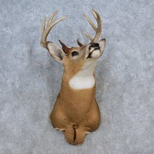Whitetail Deer Shoulder Mount For Sale #15617 @ The Taxidermy Store