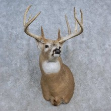 Whitetail Deer Shoulder Mount For Sale #15620 @ The Taxidermy Store