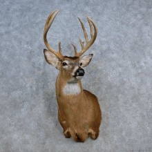 Whitetail Deer Shoulder Mount For Sale #15621 @ The Taxidermy Store