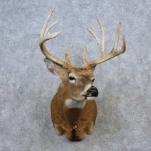 Whitetail Deer Shoulder Mount For Sale #15623 @ The Taxidermy Store