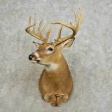 Whitetail Deer Shoulder Mount For Sale #15882 @ The Taxidermy Store