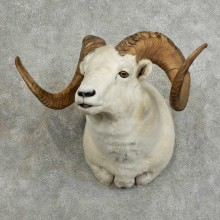 Dall Sheep Shoulder Mount For Sale #16074 @ The Taxidermy Store