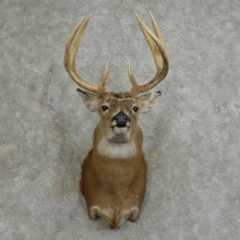 Whitetail Deer Shoulder Mount For Sale #16075 @ The Taxidermy Store