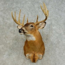 Whitetail Deer Shoulder Mount For Sale #16424 @ The Taxidermy Store