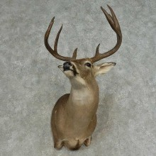 Whitetail Deer Shoulder Mount For Sale #16638 @ The Taxidermy Store