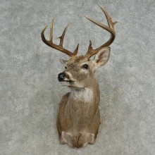 Whitetail Deer Shoulder Mount For Sale #16657 @ The Taxidermy Store
