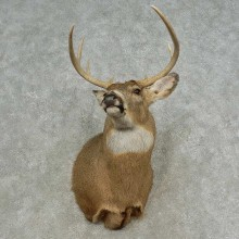 Whitetail Deer Shoulder Mount For Sale #16658 @ The Taxidermy Store