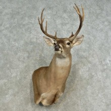 Whitetail Deer Shoulder Mount For Sale #16662 @ The Taxidermy Store